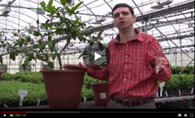 How to Care for your Indoor Citrus Plant and Winter Pollination Tips Video