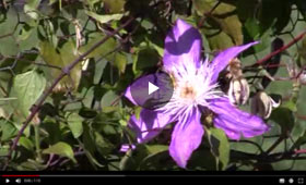How to care for Clematis Vine
