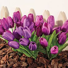 All-Weather Forever Blooms - Tulips
