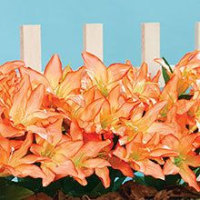 All-Weather Forever Blooms - Peach Lilies