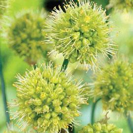 Allium obliquum
