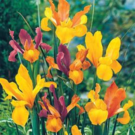 Bronze Dutch Iris Blend
