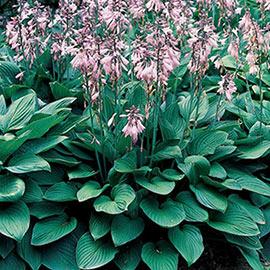 Hosta Hyacinthina