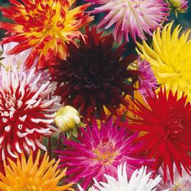 Cactus & Fimbriata Dahlias