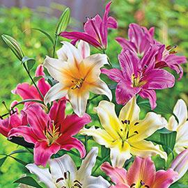 Giant Hybrid Lily Mix