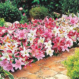 Oriental Border Lilies Mixed