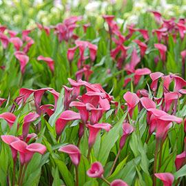 Free-Flowering Hybrid Calla Lily Garnet Glow