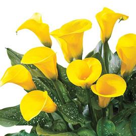 Hybrid Calla Lilies Millennium Gold