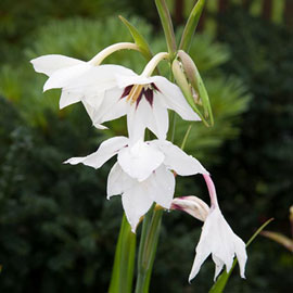 Abyssinian Gladiolus (Acidanthera)