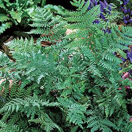 Leatherwood Fern (Dryopteris marginalis)