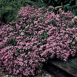 Saponaria ocymoides (Cote d'Azur Pinks)