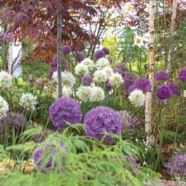 Giant Allium Duet