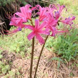 Lycoris sprengeri (Electric Blue Spider Lily)