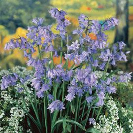 Original English Bluebells (Hyacinthoides non-scripta)