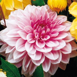 Large Decorative Dahlia Lucky Number