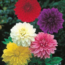 Large Decorative Dahlia Mixed