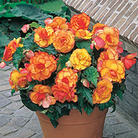 Picotee Begonias Yellow-Red