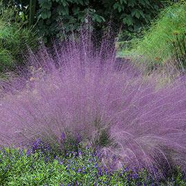 Cotton Candy Ornamental Grass
