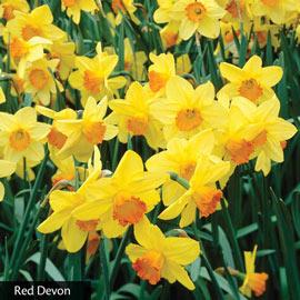 All Season Daffodil Collection