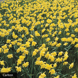 Drifts of Yellow Daffodil Collection