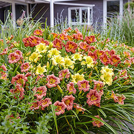 EveryDaylily<sup>®</sup> Reblooming Daylily Mixture