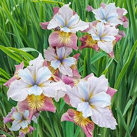 Siberian Iris Sugar Rush