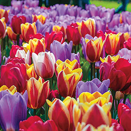 Forever Spring<sup>™</sup> Tulip Mix