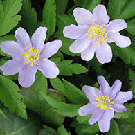 Robinsoniana Wood Anemone (A. nemorosa 'Robinsoniana')