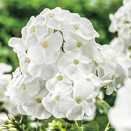 Hardy Tall Phlox White