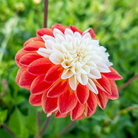 Decorative Dahlia Tangerine Sorbet