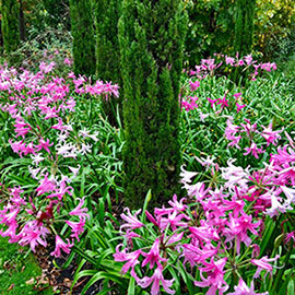 Naked Ladies Mixed Colors