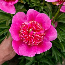 Peony officinalis anemoniflora