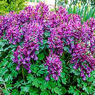 Fumewort Purple Bird