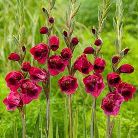 Hardy Gladiolus papilio Ruby