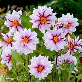 Single-Flowered Dahlia Edge of Joy