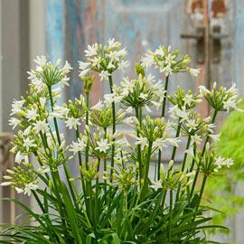Agapanthus Summer Love White