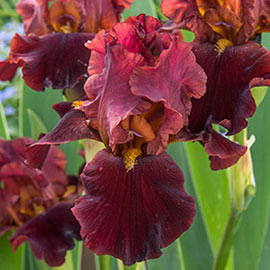 German Iris Red Riches