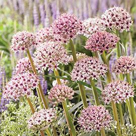 Allium Silver Spring