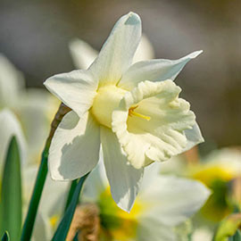Giant White Daffodils for Naturalizing in growers bag