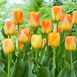 Darwin Hybrid Tulip Desert Sun