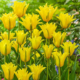 Double Lily-Flowering Tulip Yellow Spider