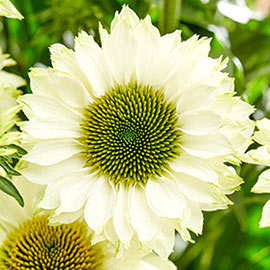 Coneflower SunSeekers White Perfection