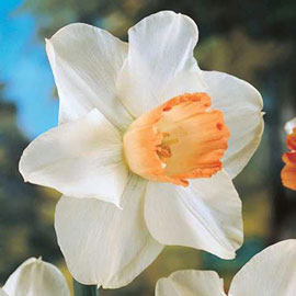 Large Cupped Daffodil Pink Pride