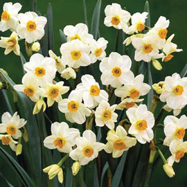 Tazetta Daffodil Geranium