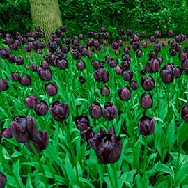 Mayflowering Tulip Queen of Night