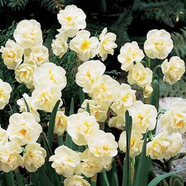 Deer Resistant Daffodils