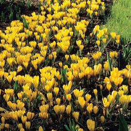 Giant Crocus Golden Yellow (C. vernus)