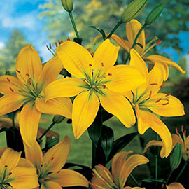 Asiatic Lily Yellow County