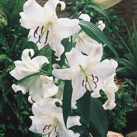 Oriental Lily Casa Blanca