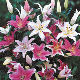 Oriental Lily Mixed